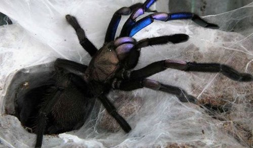 "Chilobrachys sp.""Electric blue""  /일렉트릭 블루 유체중"