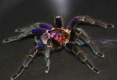 도미니칸 퍼플 n3~n4 한쌍 /Phormictopus sp dominican purple (ex cautus)